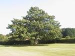 Turville Tree